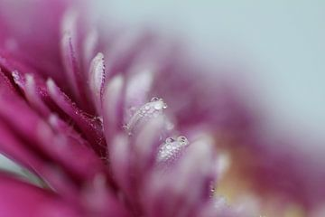 rosa Schönheit von sandra veenman