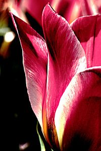 Detail van roze tulp van