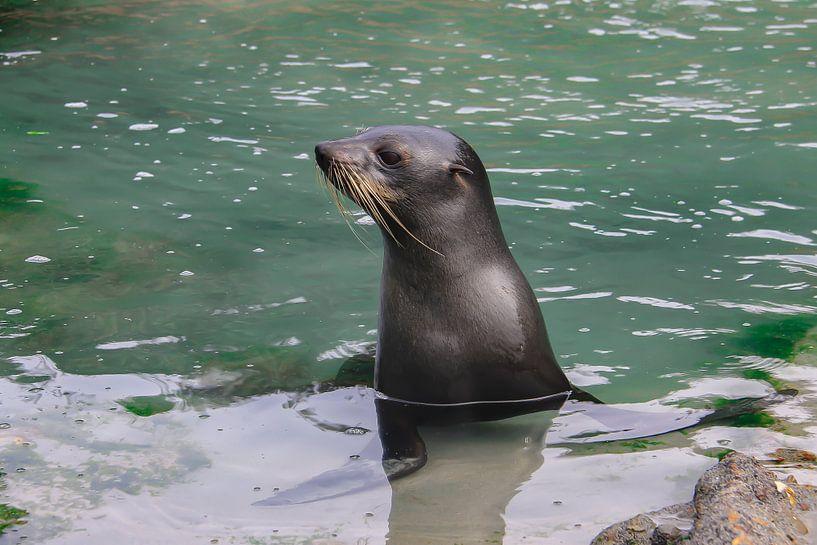 Nieuwsgierige zeeleeuw van Lizette Schuurman