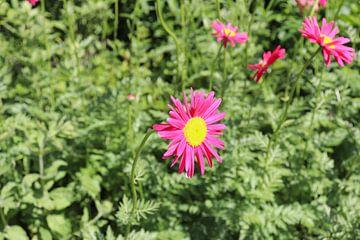 Roze bloem van Kimberley Fennema
