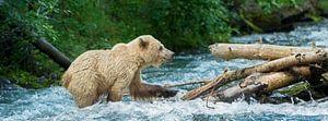 Blonde Grizzly beer steekt de koude rivier over