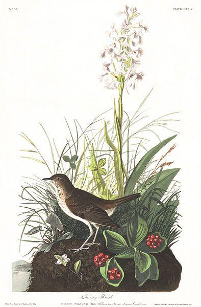 Veery van Birds of America