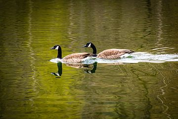 Reflectie 2 Canadese ganzen zwemmend in meer van Dieter Walther