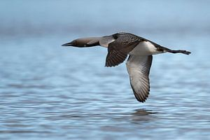 Black-throated Loon / Arctic Loon ( Gavia arctica ), in flight, flying close above water surface, si