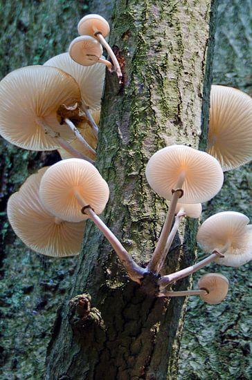 Weiße Baumpilze