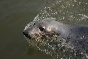 Zwemmende zeehond van