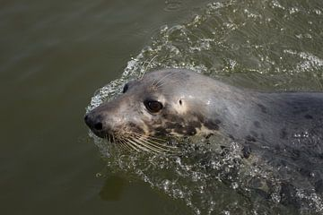 Zwemmende zeehond van André Hamerpagt