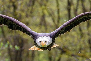 Weißkopf-Seeadler von Jan Hoekstra