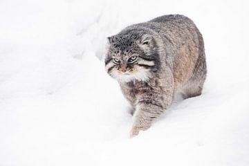 Geïsoleerd op witte sneeuw achtergrond. Ernstige, wrede, pluizige, wilde kattenmanoeuvre op witte sn van Michael Semenov