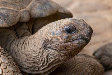Riesenschildkröte von Joost Winkens
