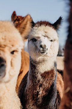 Baby alpaca van Yvette Smink