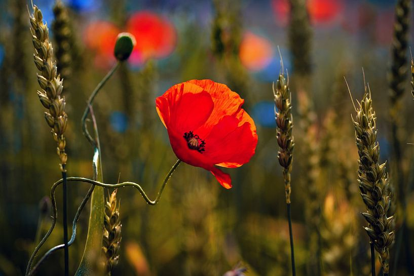 Poppys field van Kurt Krause