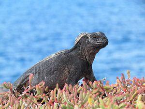 Galapagos Zeeleguaan