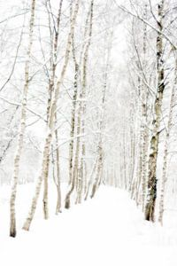 Berkenlaan in winterslaap van