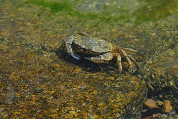 Krab in de Waddenzee bij Terschelling van