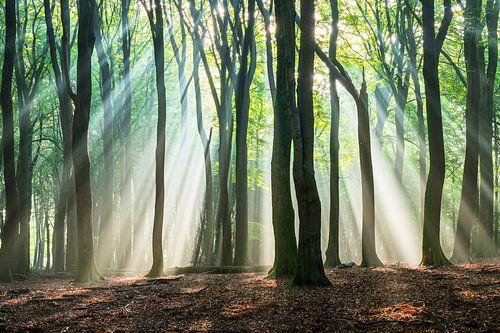 Lichtstralen in het beukenbos