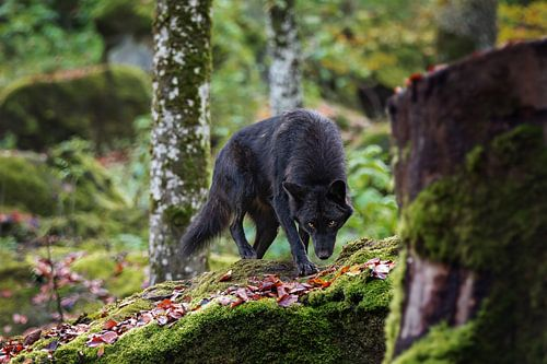 black canadian timber wolf
