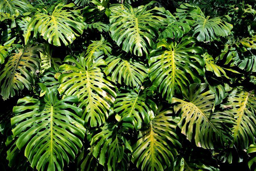 Prachtige bladerenwand van Monstera Deliciosa Blad; bladeren jungle; gatenplant van Bianca ter Riet
