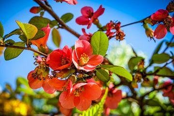 Apfelblüte von pixxelmixx