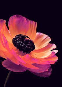 Pink Ranunculus-2 von Pia Schneider