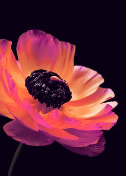 Roze Ranunculus-2 van Pia Schneider