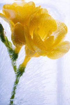 Gele fresia in ijs 3 van Marc Heiligenstein