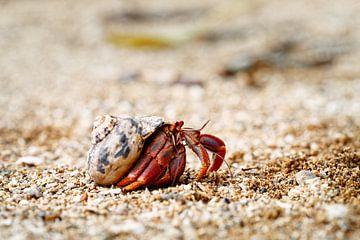 Einsiedlerkrebses in einer Muschelschale in Bewegung