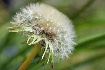 Löwenzahn mit Samen an den flauschigen Fallschirmen, die deutlich sichtbar sind von Robin Verhoef
