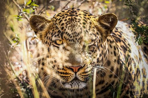 Indrukwekkend en schitterend Luipaard in Moremi National Park, Botswana van Original Mostert Photography