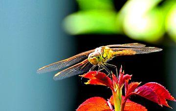 Libelle sur