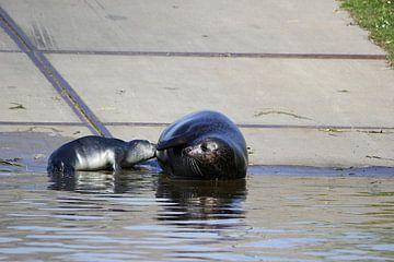 Moeder zeehond voed haar jong van Leon Verra