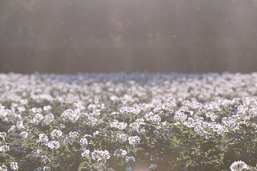 Aardappelveld in bloei von Manon Sloetjes