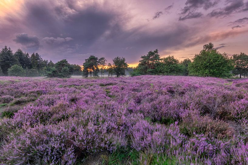 Bloeiende heide bij Den Treek in Leusden van Dennisart Fotografie