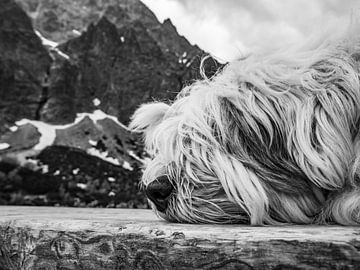 Langharige hond in de bergen
