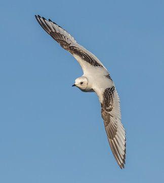 Vliegende jonge Ross' meeuw van Marcel Klootwijk