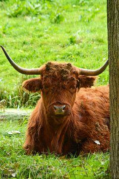 Porträt eines braunen schottischen Hochlandbewohners im Gras von Trinet Uzun