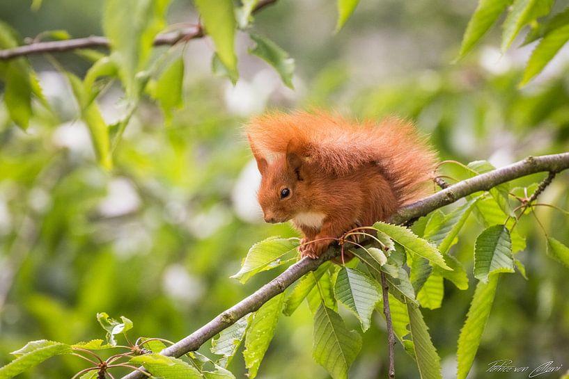 Eichhörnchen Portrait von Patrice von Collani
