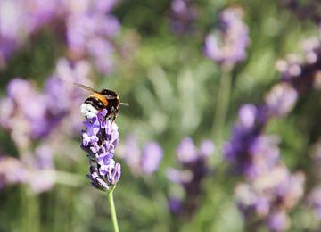 Lavendel in bloei von Nannie van der Wal
