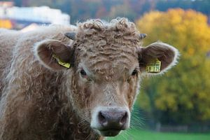 Cow is watching You