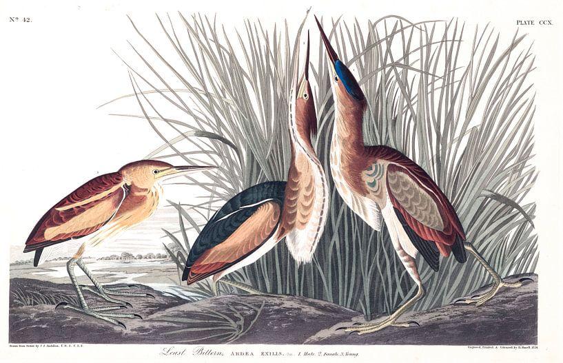 Amerikaanse Woudaap van Birds of America