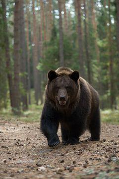 European Brown Bear  ( Ursus arctos ) getting curious van wunderbare Erde