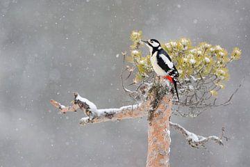 Grote bonte specht (Dendrocopos major) zit in de winter met zware sneeuwval op een dennenboom, Europ van wunderbare Erde
