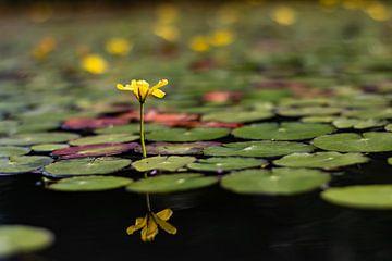Wasserpflanze in Blüte von Jeroen Gutte