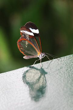 Vlinder in reflectie van