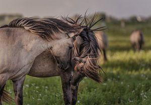 Wilde paarden. van Henri Ton