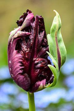 Graupapageien-Tulpe von Ingrid de Vos - Boom