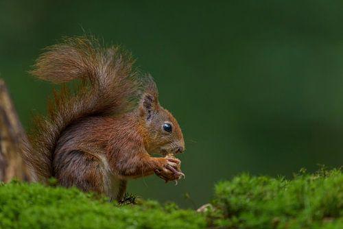 Rode eekhoorn eet walnoot van Richard Guijt