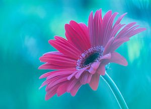Pink Gerbera van
