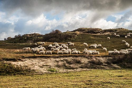 Kudde schapen in hollandse duinen met dramatische lucht