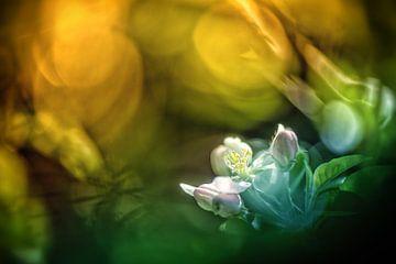 Apple blossom in colours van Nicc Koch